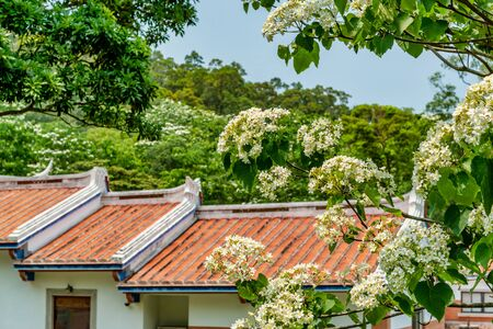 Photo for Tung flower blooming in the park,Miaoli, Taiwan - Royalty Free Image