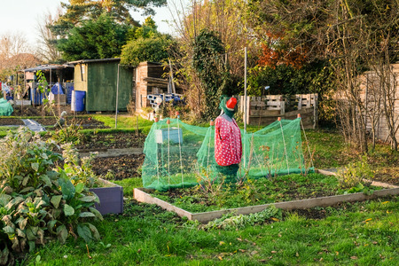 Allotments are small plots of land that you rent and cultivate yoursellf.  This plot has a modern scarecrow to fend off the birds.