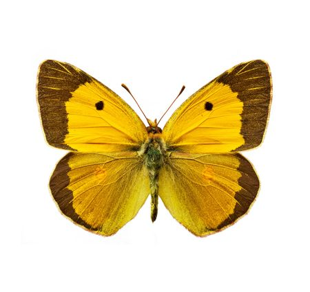isolated moth - Clouded Yellow, Colias croceus butterfly
