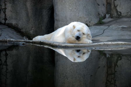 A sleeping polar bear at a zoo.