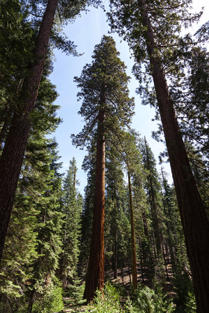 Wide-angle Shot Redwood Trees Against Blue Sky