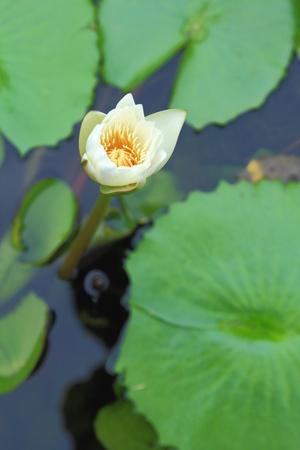 White lotus in pool