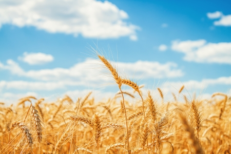 Photo pour Gold wheat field and blue sky - image libre de droit