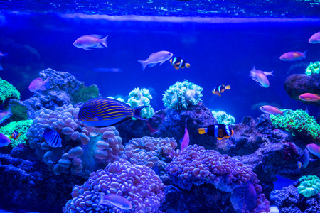 Photo for Tropical fish with corals and algae in blue water. Beautiful background of the underwater world - Royalty Free Image