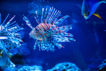 Foto de Tropical fish Lion fish and corals. Beautiful background of the underwater world - Imagen libre de derechos