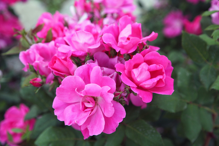 Photo for Fuchsia and pink roses in full bloom in May - Royalty Free Image