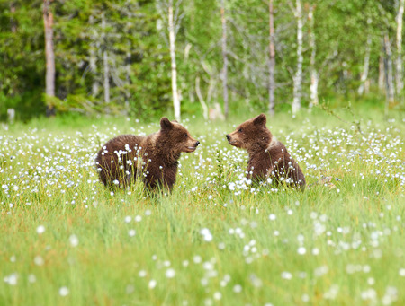 Photo pour Two young brown bears in the middle of cottongrass flowers on a Finnish swamp in Eastern Finland on early summer evening - image libre de droit