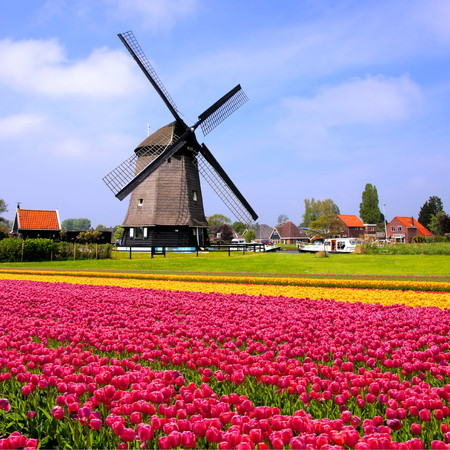 Dutch Tulip Field And Windmill
