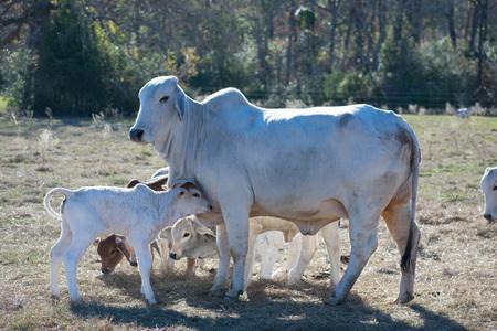 Foto de Brahma Cow and Calf Close Up - Imagen libre de derechos