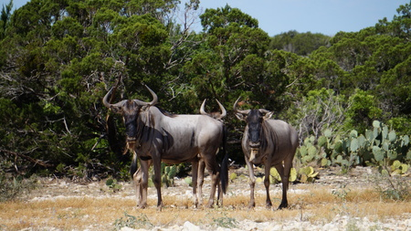 close up of a small wildebeest herd in the wild