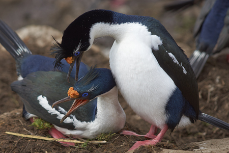 Pair of Imperial Shag (Phalacrocorax atriceps albiventer) engaged in a courtship ritual on the cliffs of Saunders Islands in the Falkland Islands.
