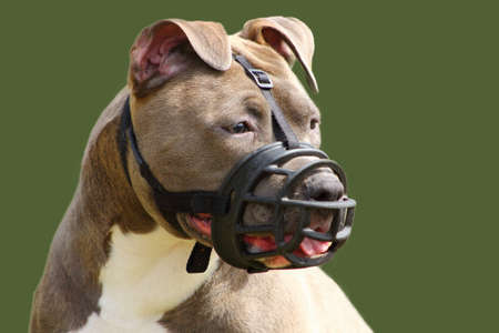 face of an american staffordshire terrier dog with muzzle