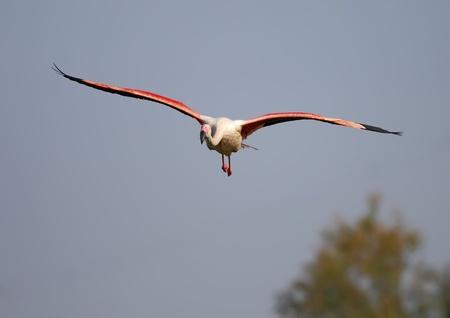 flamenco rosado en la naturaleza en total libertad