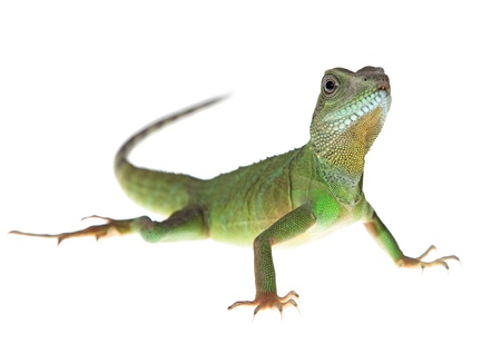 Chinese water dragon on white background picture