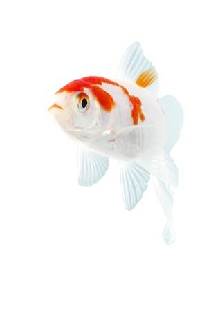 bicolor, de peces de la familia de las carpas en el fondo blanco