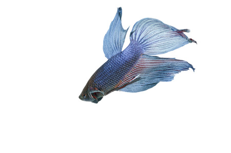 blue betta acuario con fondo blanco aislado