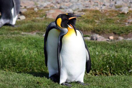 Foto de King Penguin? S breeding colony in Fortuna Bay, South Georgia Islands - Imagen libre de derechos