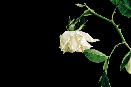 Closeup of withered rose, isolated on black background