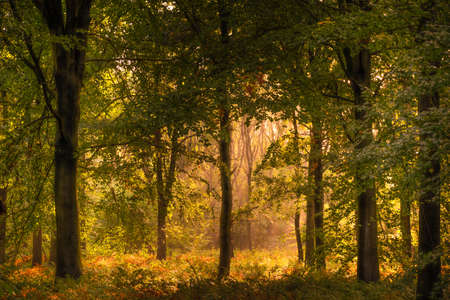 Photo for Beech Woodland in Autumn Sunshine - Royalty Free Image