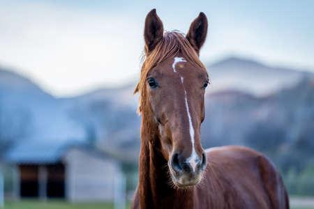 Photo pour Brown horse posing next to the spring meadows. - image libre de droit