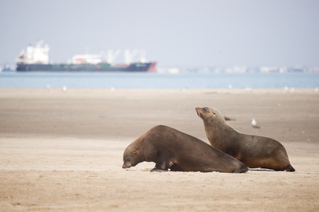 Two seals move along the beach at Pelican Point near Walvis Bay in Namibia.