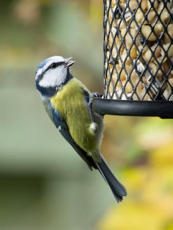 Blue tit sitting on a bird feeder with peanuts having open beak