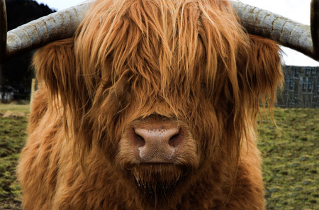 A beautiful golden haired highland cow glances at the camera, Scotland