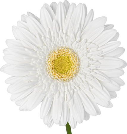 White Gerbra Daisy Isolated On White Background ~ Clipping Path Inclueded