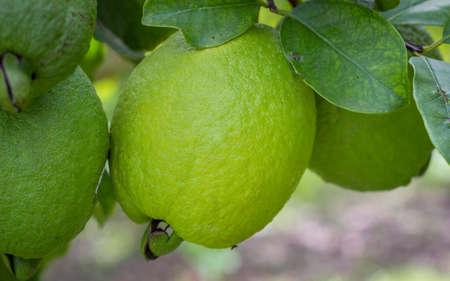 Foto für Yellow guava crop with many green and ripe fruits - Lizenzfreies Bild