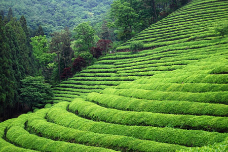 Southeast Asia Tea Plantation
