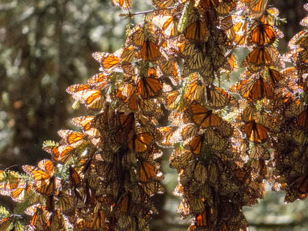 Monarch butterflies from Canada and US in their wintering grounds in Mexico