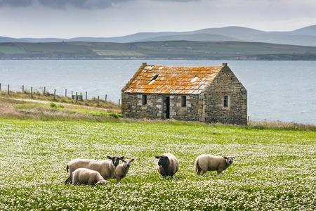 Grazing sheep on the isle of skye in Scotland, Great Britain UK