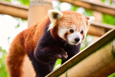 Photo pour Red panda - image libre de droit