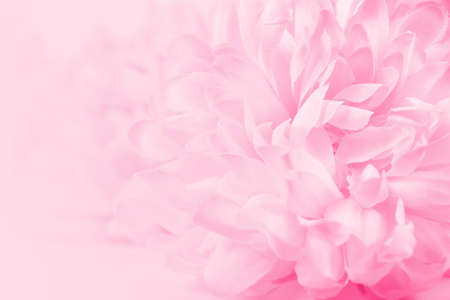 Photo for Beautiful pink chrysanthemum flowers in soft style for background - Royalty Free Image