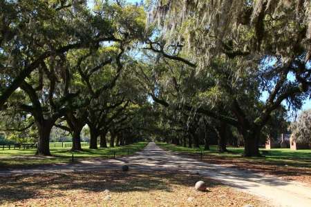 Live Oaks in Charleston, South Carolina