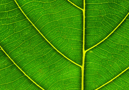 Pattern of green leaf closeup for background
