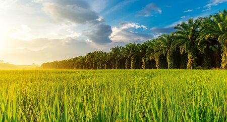 Photo pour Rice field panorama with sunrise or sunset over the sun in moning light - image libre de droit