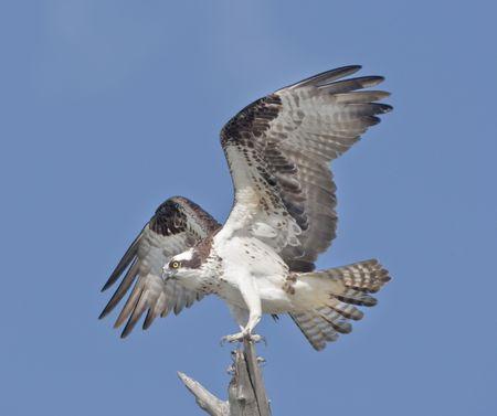 Osprey. Powerful Osprey