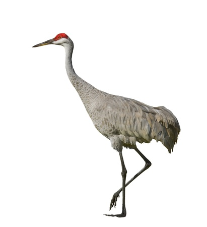 Sandhill crane , isolated on white. Latin name - Grus cannadensis.