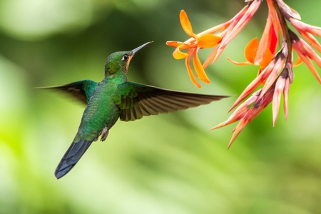 Photo pour Green-crowned Brilliant, Heliodoxa jacula, hovering next to orange flower, bird from mountain tropical forest, Waterfall Gardens La Paz, Costa Rica, beautiful hummingbird sucking nectar from blossom - image libre de droit
