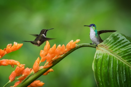Hummingbirds hovering next to orange flower and another bird sitting on leave,tropical forest,Ecuador,bird sucking nectar from blossom in garden,hummingbird with outstretched wings,wildlife scene