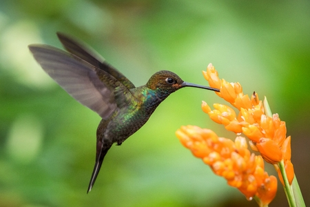 Photo pour Hummingbird hovering next to orange flower,garden,tropical forest,Brazil, bird in flight with outstretched wings,flying hummingbird sucking nectar from blossom,exotic travel adventure,clear background - image libre de droit