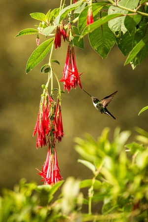 Colared inca howering next to red flower, Colombia hummingbird with outstretched wings,hummingbird sucking nectar from blossom,animal in its environment, bird in flight,garden