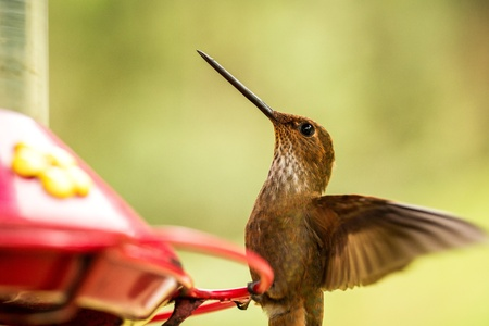 Brown inca hummingbird with outstretched wings,tropical cloud forest,Colombia,bird hovering next to red feeder with sugar water, garden,clear background,nature scene,wildlife,exotic adventure