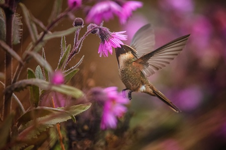 Photo pour Green-bearded helmetcrest howering next to pink flower, Colombia hummingbird with outstretched wings,hummingbird sucking nectar from blossom,high altitude animal in its environment,exotic adventure - image libre de droit
