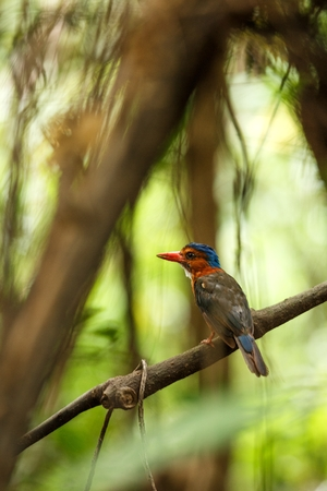 The green-backed kingfisher perches on a branch in indonesian jungle,family Alcedinidae, endemic species to Indonesia, Exotic birding in Asia, Tangkoko, Sulawesi, beautiful colorful bird