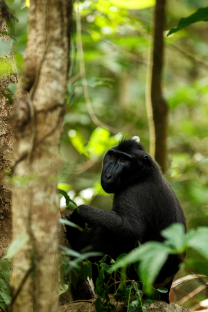 Celebes crested macaque on the branch of the tree. Close up portrait. Endemic black crested macaque or the black ape. Natural habitat. Unique mammals in Tangkoko National Park,Sulawesi. Indonesia