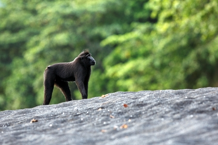 Black macaque standing on black sand on the beach. Close up portrait. Endemic black crested macaque or the black ape. Unique mammals in Tangkoko National Park,Sulawesi. Indonesia