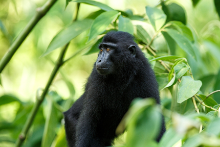 Small cute baby macaque on the branch of the tree in rainforest. Close up portrait. Endemic black crested macaque or the black ape. Unique mammals in Tangkoko National Park,Sulawesi. Indonesia