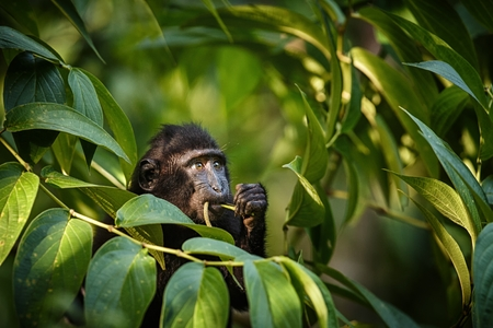 Small cute baby macaque on the branch of the tree eating leaves. Close up portrait. Endemic black crested macaque or the black ape. Unique mammals in Tangkoko National Park,Sulawesi. Indonesia